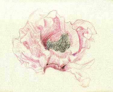 Poppy - water color