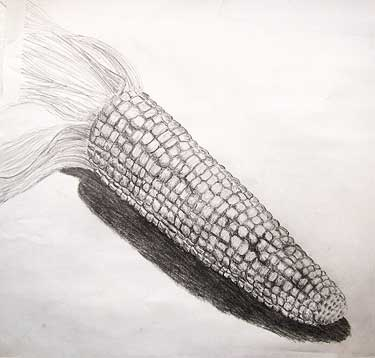 Corn - pencil sketch