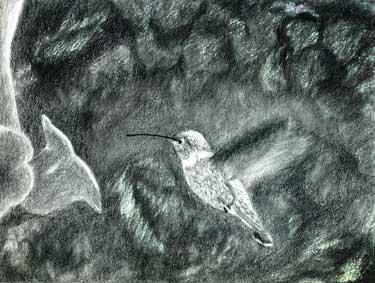 Pencil drawing of Hummingbird