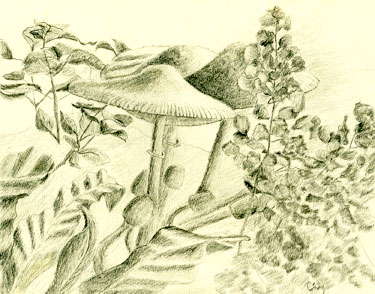 Drawing of mushrooms