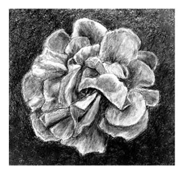 Pencil drawing of rose blossom